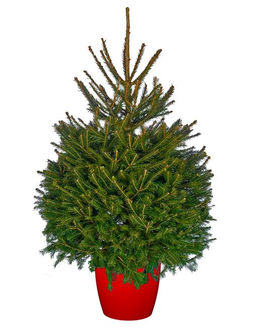 2.5ft Real Pot Grown Norway Spruce