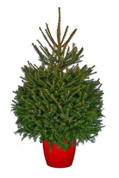 4ft Real Pot Grown Norway Spruce