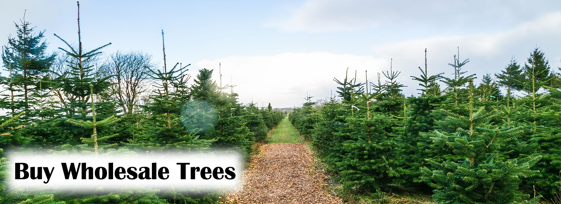 Bristol Christmas Trees Pick Your Own and Delivery UK Wide